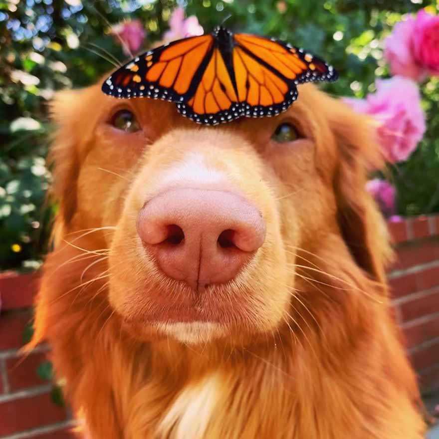 Cachorro retriever apaixonado por borboletas