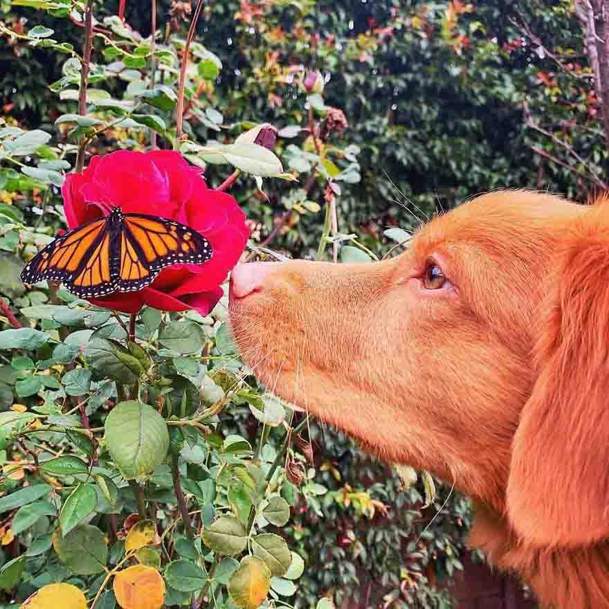 Cachorro retriever apaixonado