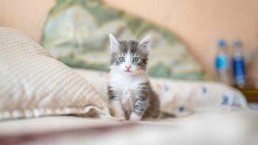 Estudo mostra que gatinhos