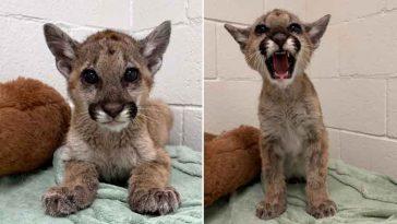 Gatinho faminto foi salvo leão