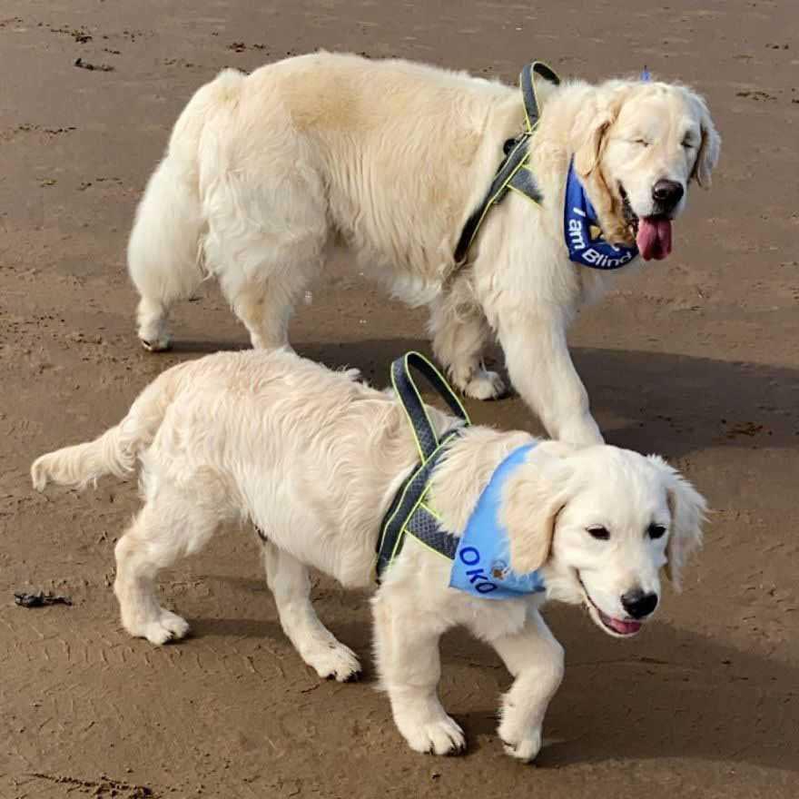 Goldenretrieverfilhote vira cão guia de idoso cego da mesma raça