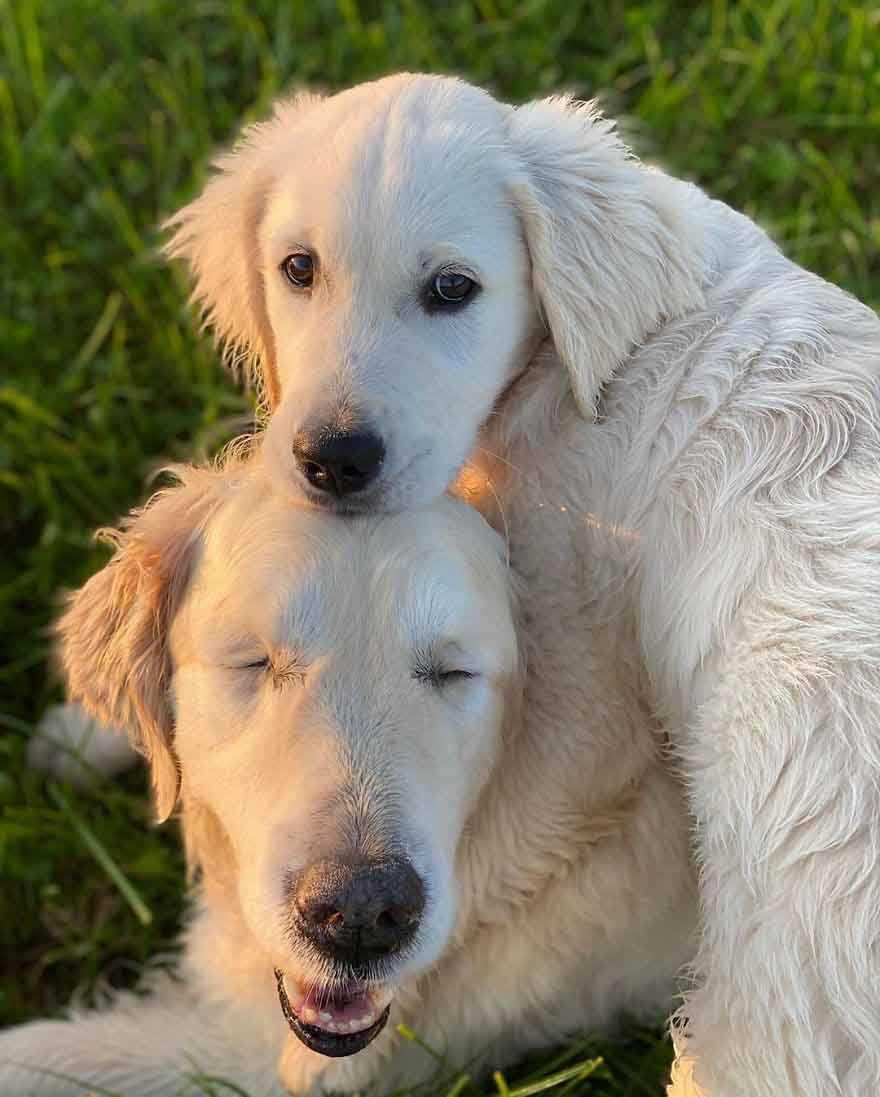 Goldenretrieverfilhote vira cão guia de idoso