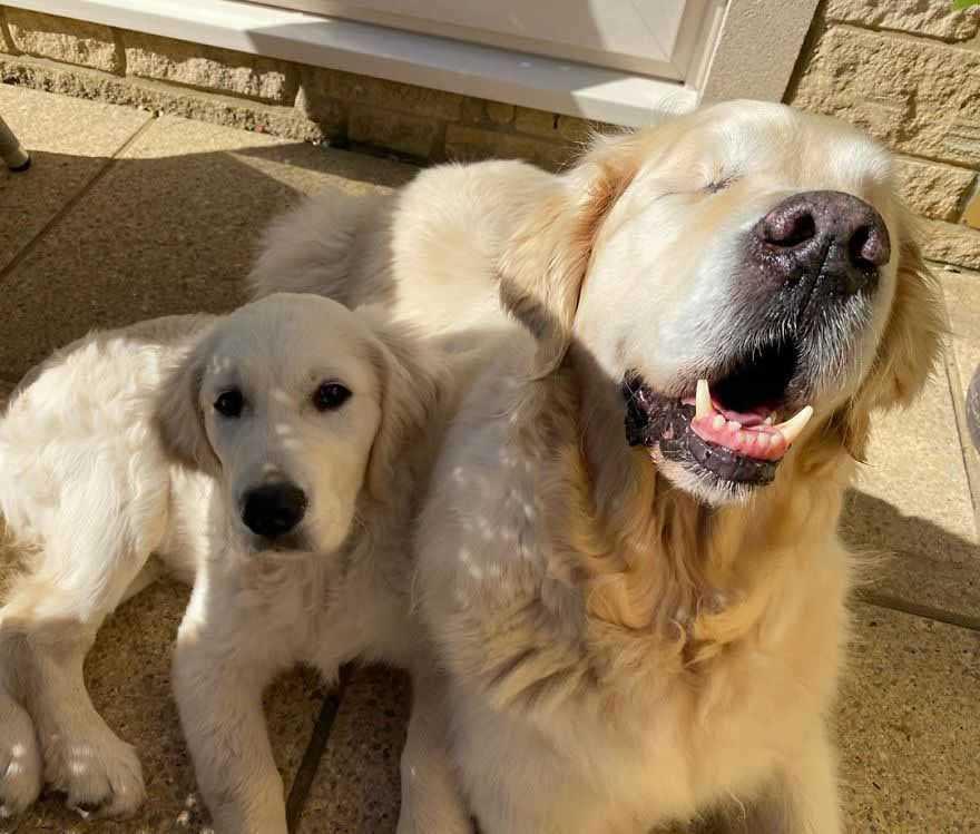 Goldenretrieverfilhote vira cão guia