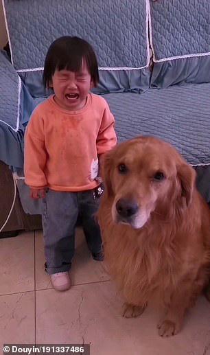 Golden retriever protege menininha que tomou bronca