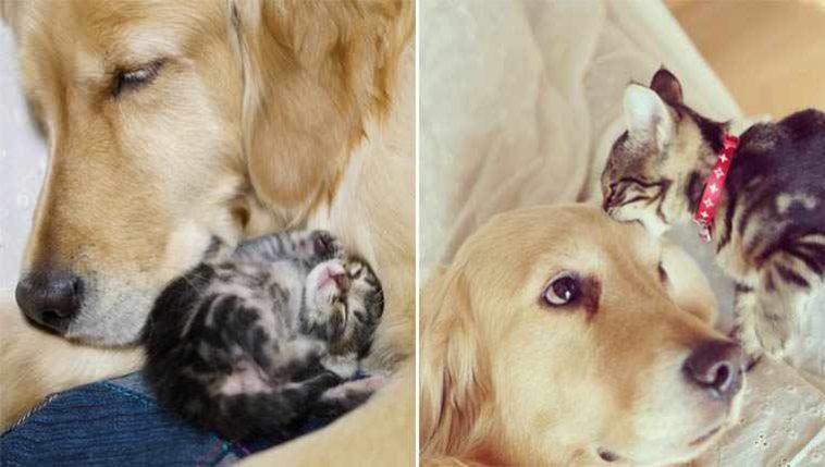 Golden retriever se apaixona por uma gatinha