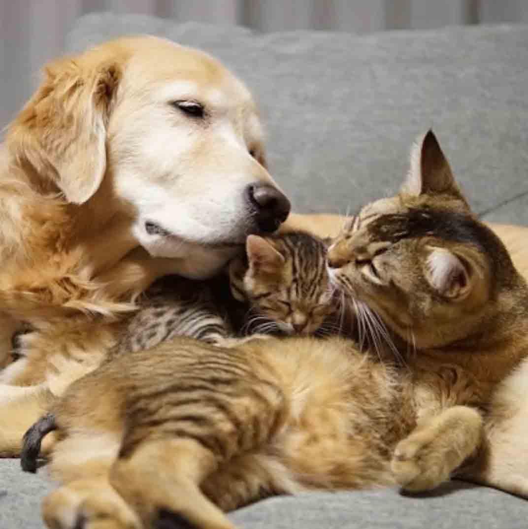 Golden retriever se apaixona por uma gatinha fotos
