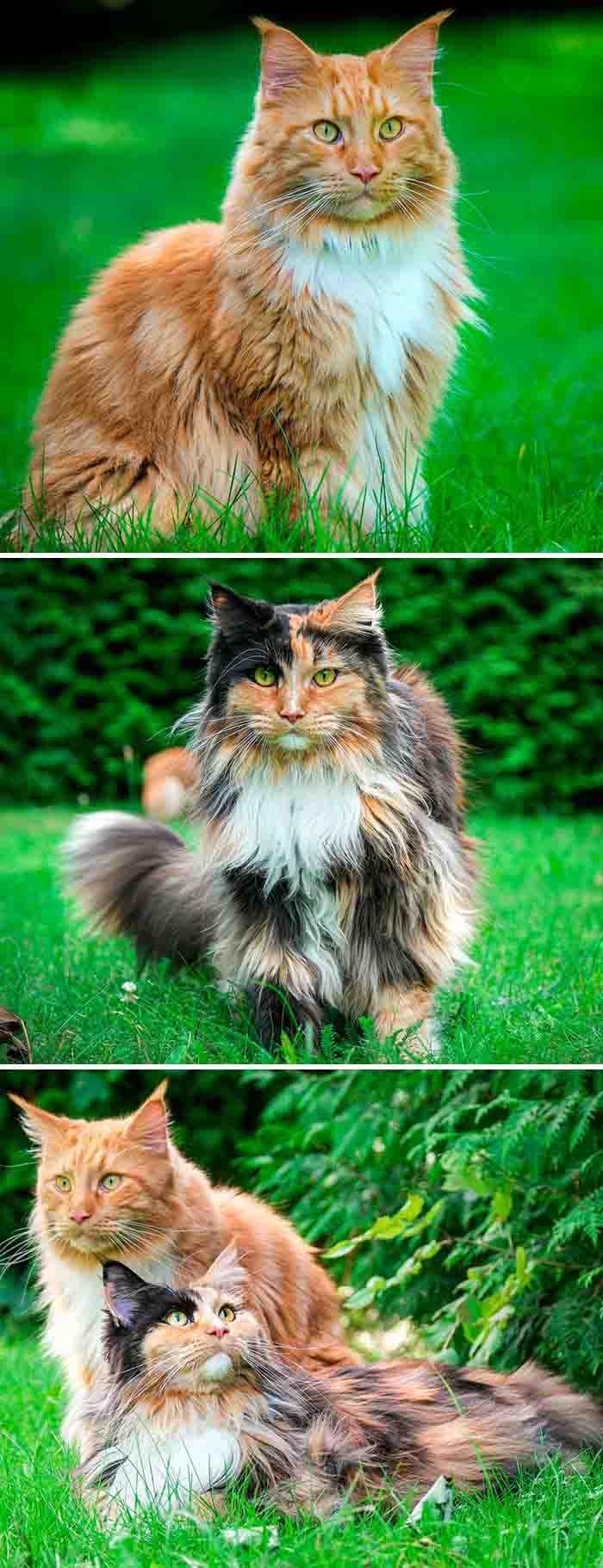 Os gatos maine coon mais bonitos