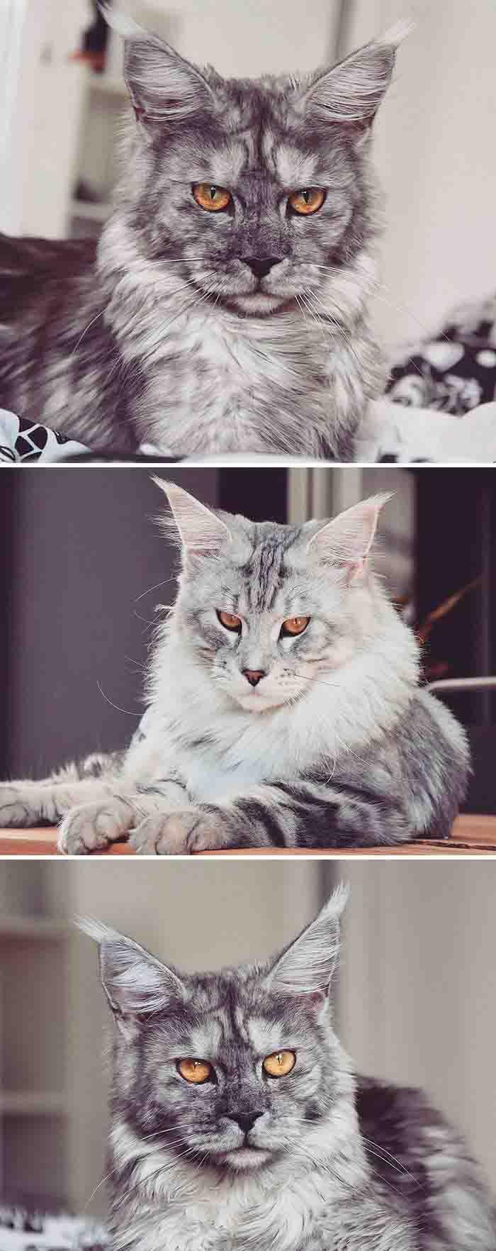Os gatos maine coon mais instagram