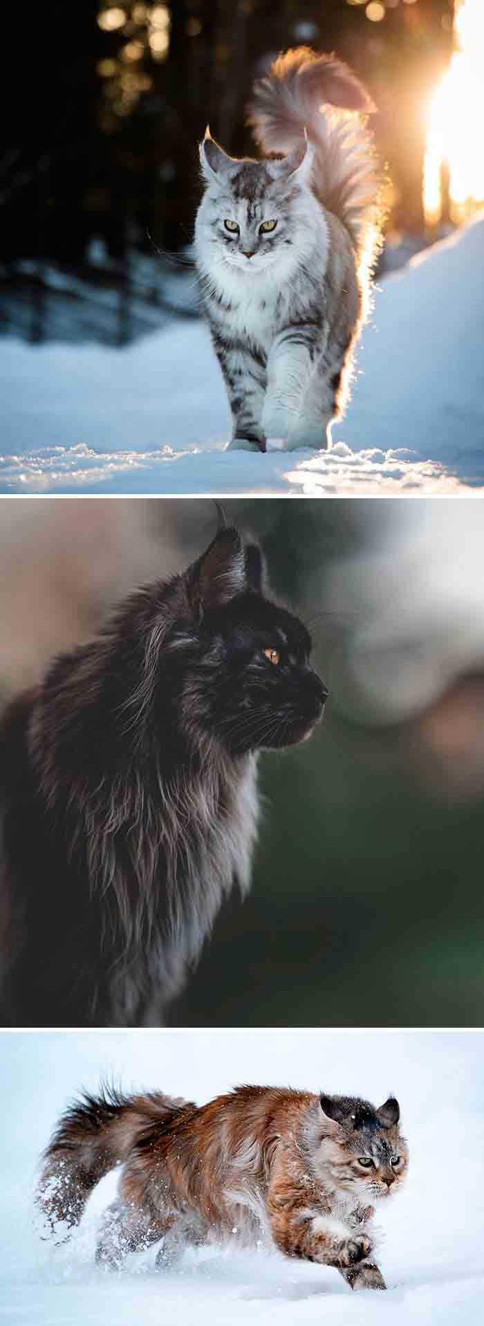 Os gatos maine coon mais lindos fotos