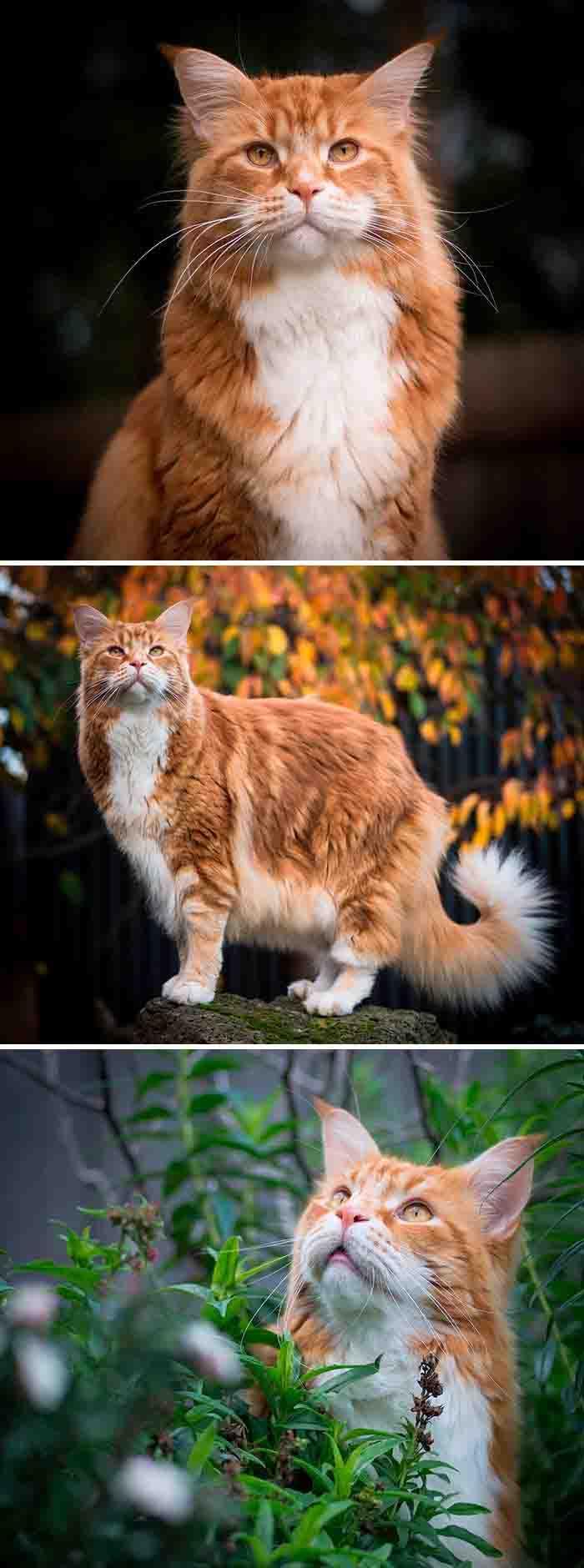 Os gatos maine coon mais lindos