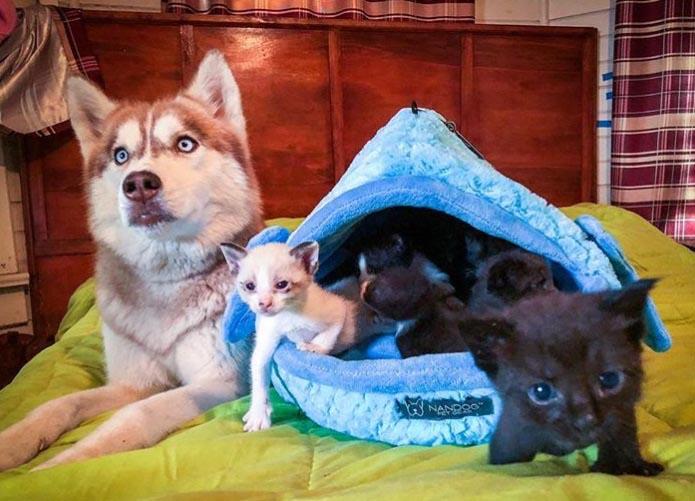 cadela husky resgata gatos