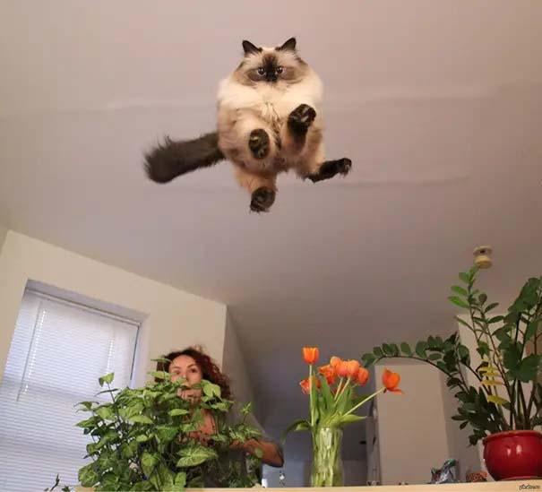 gato voador