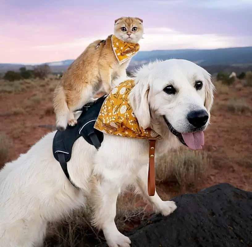 golden retriever branco amizade gatinha