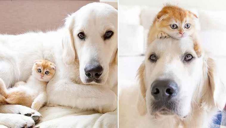golden retriever branco e gatinha amizade