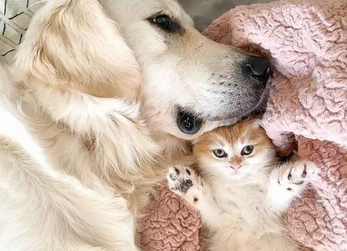 golden retriever branco e gatinha