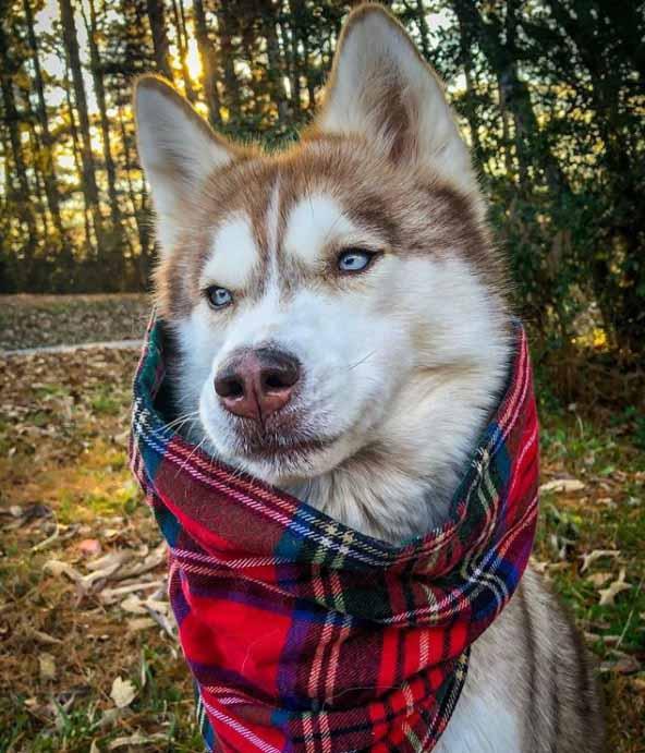 linda cadela husky