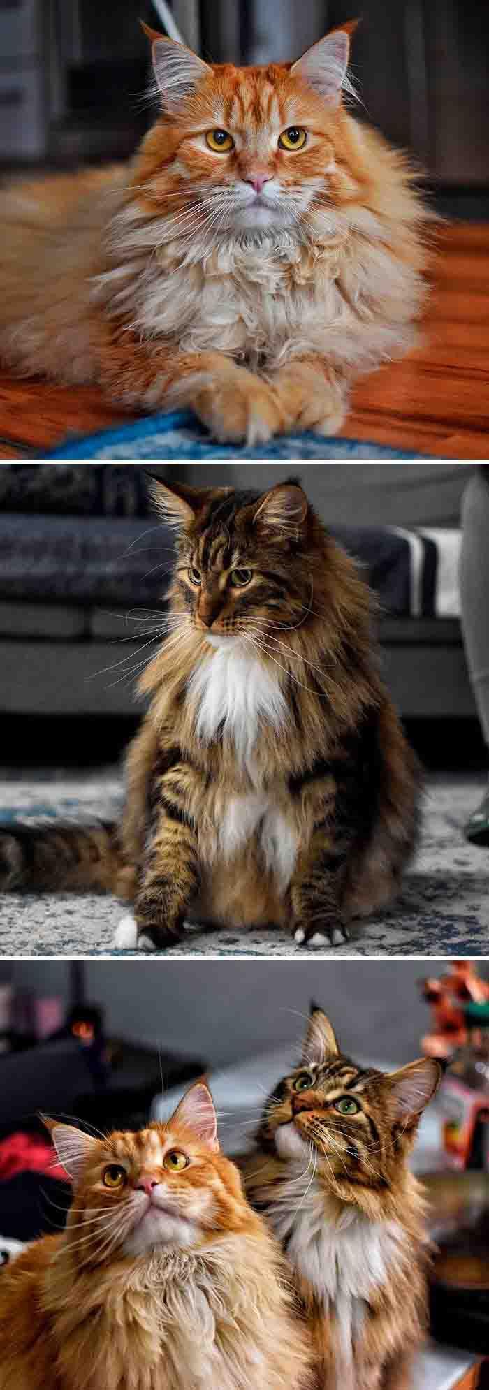 raça de gatos maine coon