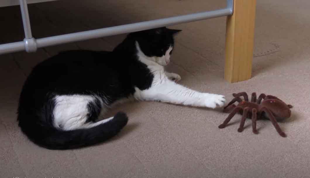 Aranha-gigante-assusta-gatinho-em-vídeo