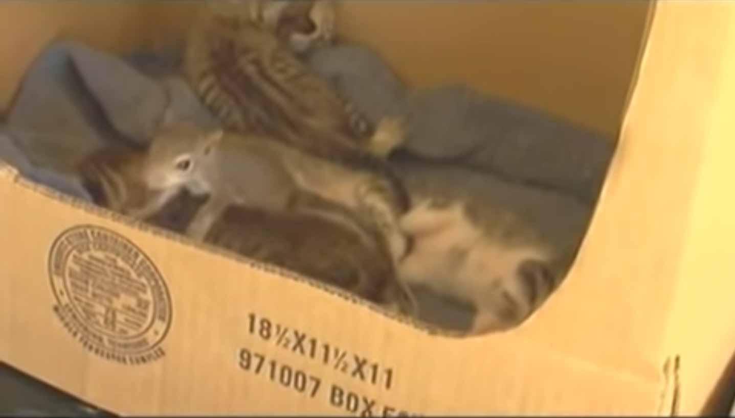 Gatinha-adota-esquilo-vídeo