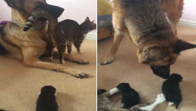 Gatinha-apresenta-seus-filhotes-ao-amigo