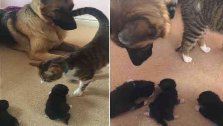 Gatinha-apresenta-seus-filhotes-ao-amigo-pastor-alemão
