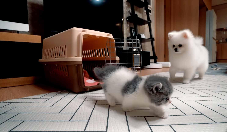Gatinho-bravo-conhece-cachorros-vídeo
