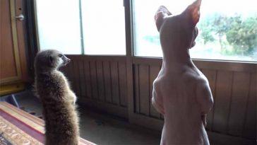 Gatinho-convive-com-suricato