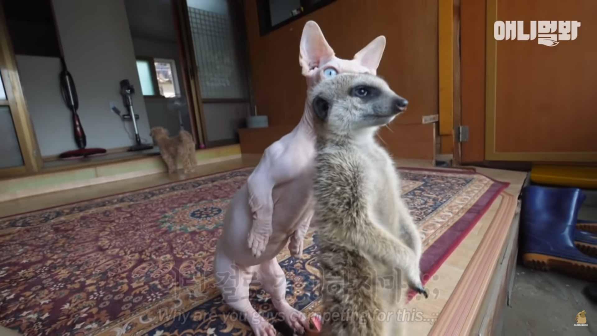 Gatinho-convive-com-suricato-vídeo