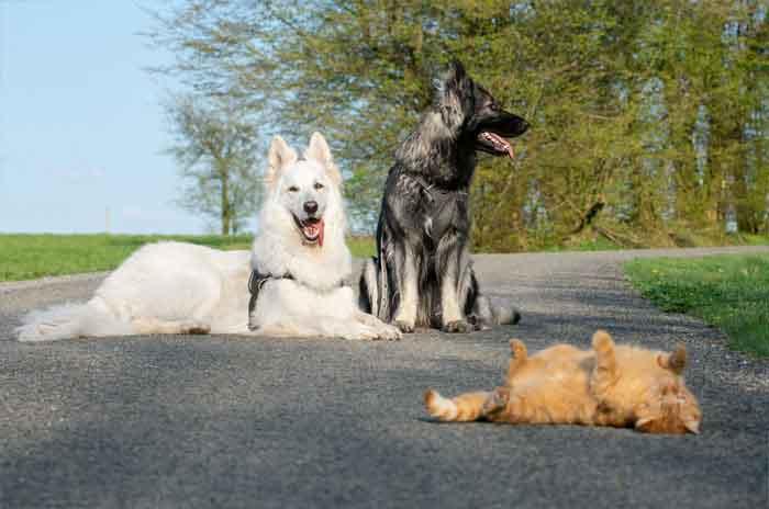Gatinho-criado-por-cachorros-acha-que-é-um-deles