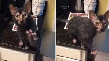 Gatinho-que-parece-um-rato