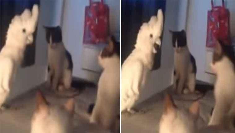 Gatinhos-ensinam-uma-cacatua-a-miar