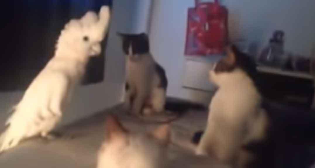 Gatinhos-ensinam-uma-cacatua-a-miar-perfeitamente