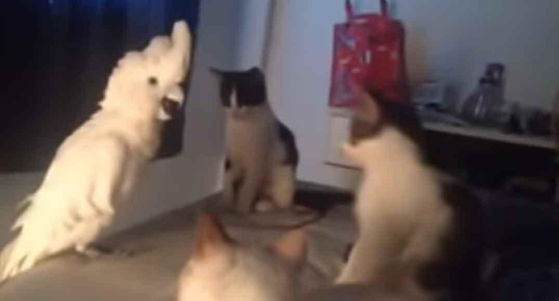 Gatinhos-ensinam-uma-cacatua-a-miar-vídeo