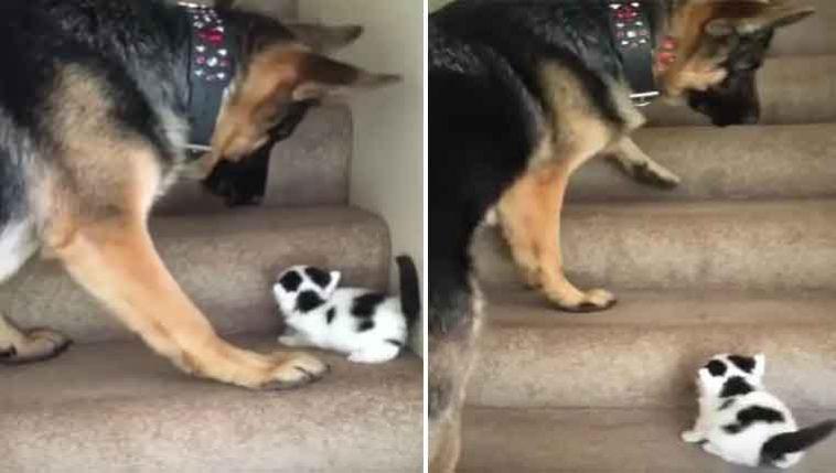 Pastor-alemão-ensina-gatinho