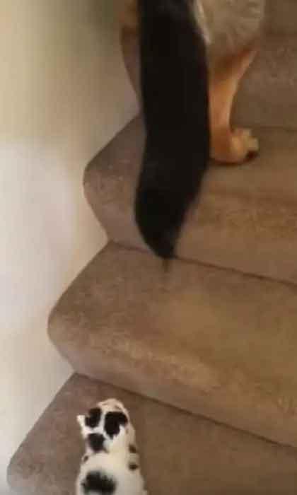 Pastor-alemão-ensina-gatinho-a-subir-escadas