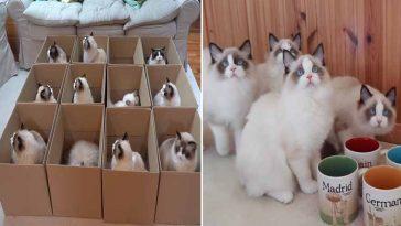 Várias-caixas-gatinhos-rag-doll