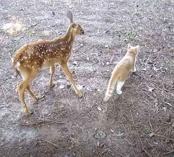 gatinho-do-vizinho-e-cervo