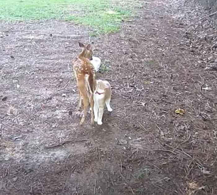 gato-e-cervo-amizade