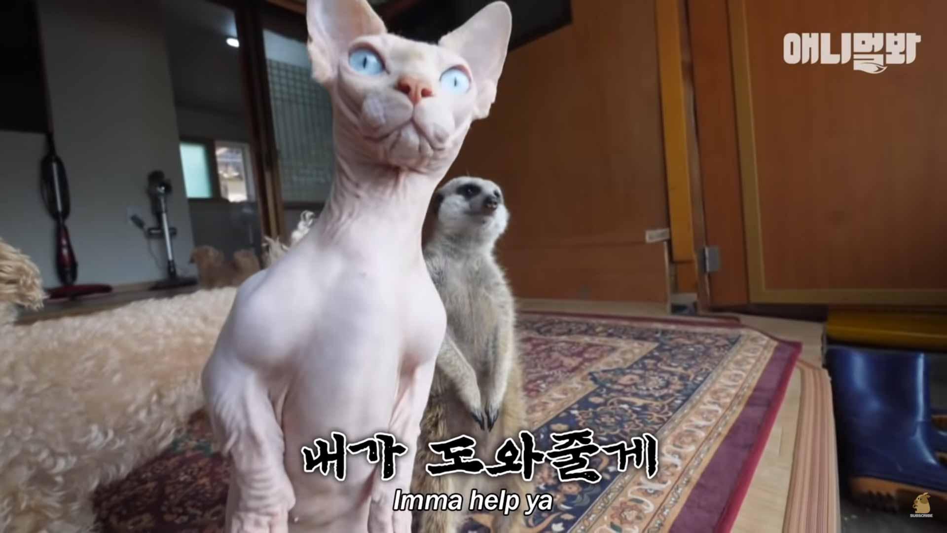 gato-e-suricate