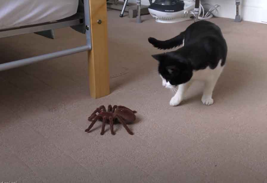 gato-versus-aranha