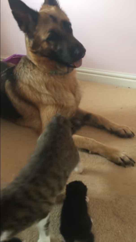 pastor-alemão-e-gato