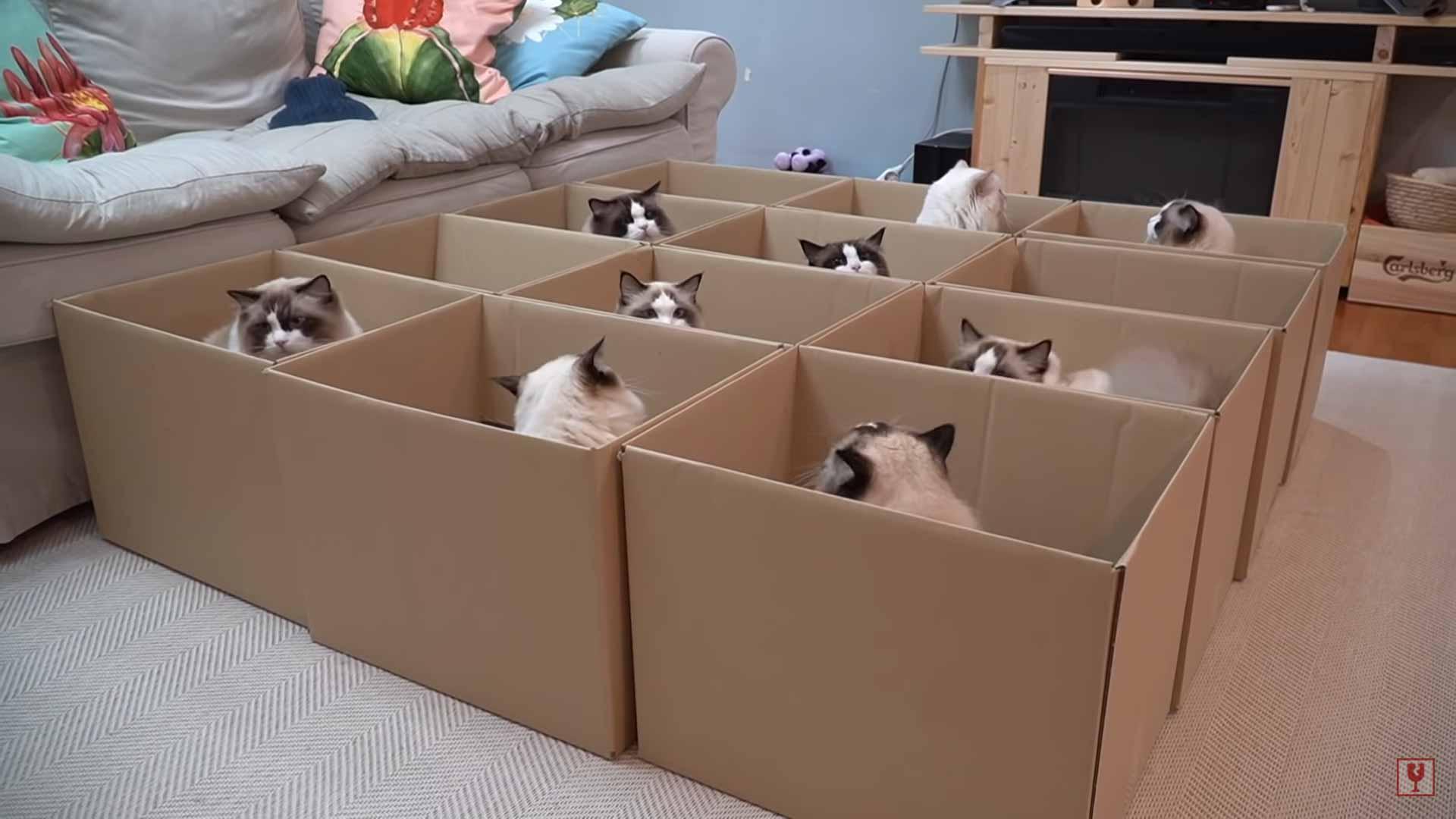 por-que-gatos-amam-caixas