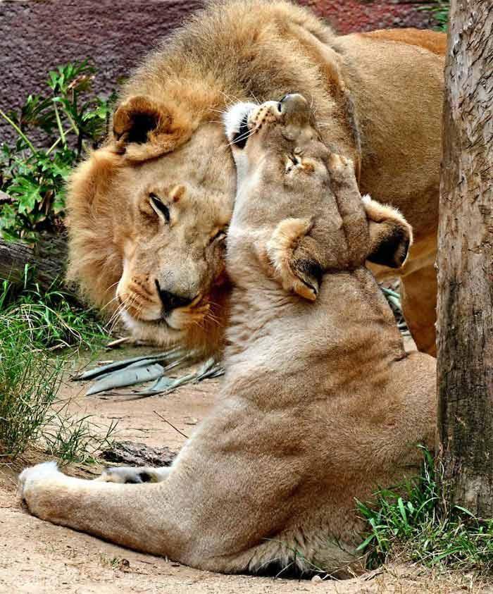 Casal-de-leões-idosos-são-sacrificados-juntos-fotos
