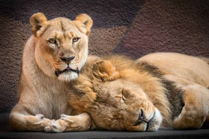 Casal-de-leões-idosos-são-sacrificados-juntos-história