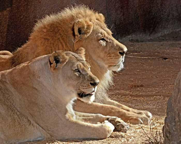 Casal-de-leões-idosos-são-sacrificados-juntos