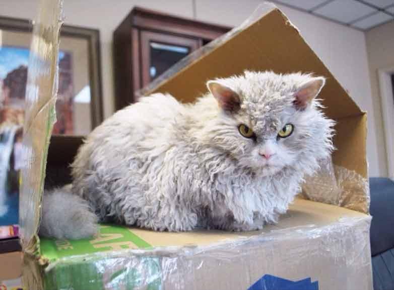 Esse-gatinho-parece-uma-pelúcia-raça
