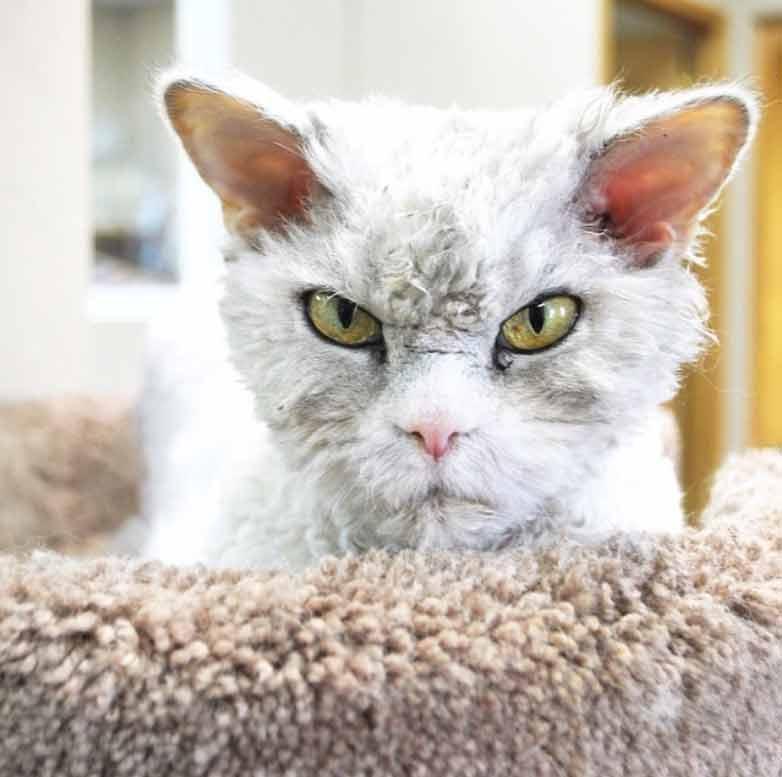 Esse-gatinho-parece-uma-pelúcia-viva-irritada