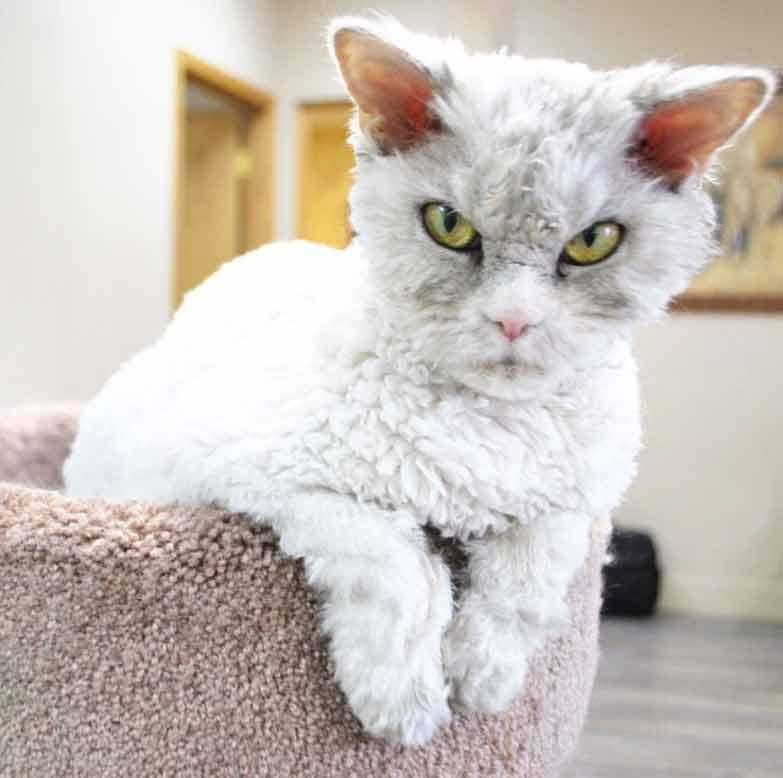 Esse-gatinho-parece-uma-pelúcia-viva