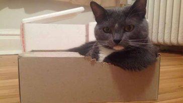 Estudo indica que caixas reduzem o estresse dos gatinhos