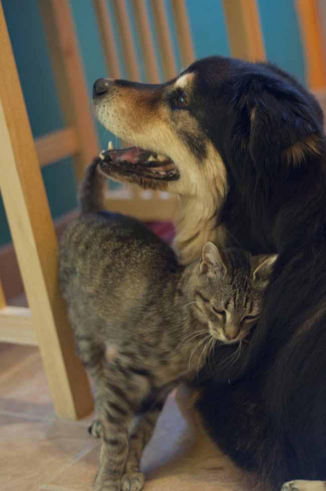 Gatinha-de-coração-partido-chora-por-cachorro
